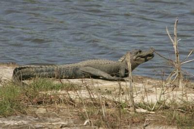 alligator on lake bank