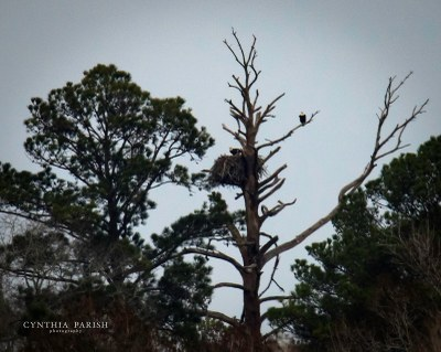 Bald Eagle on nest.