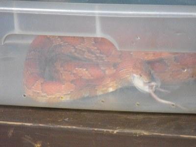 Snake feeding