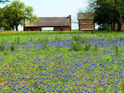 Bluebonnet field at the Danz Cabins at LBJ State Park