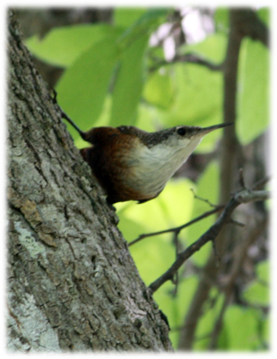 Canyon Wren bird on tree