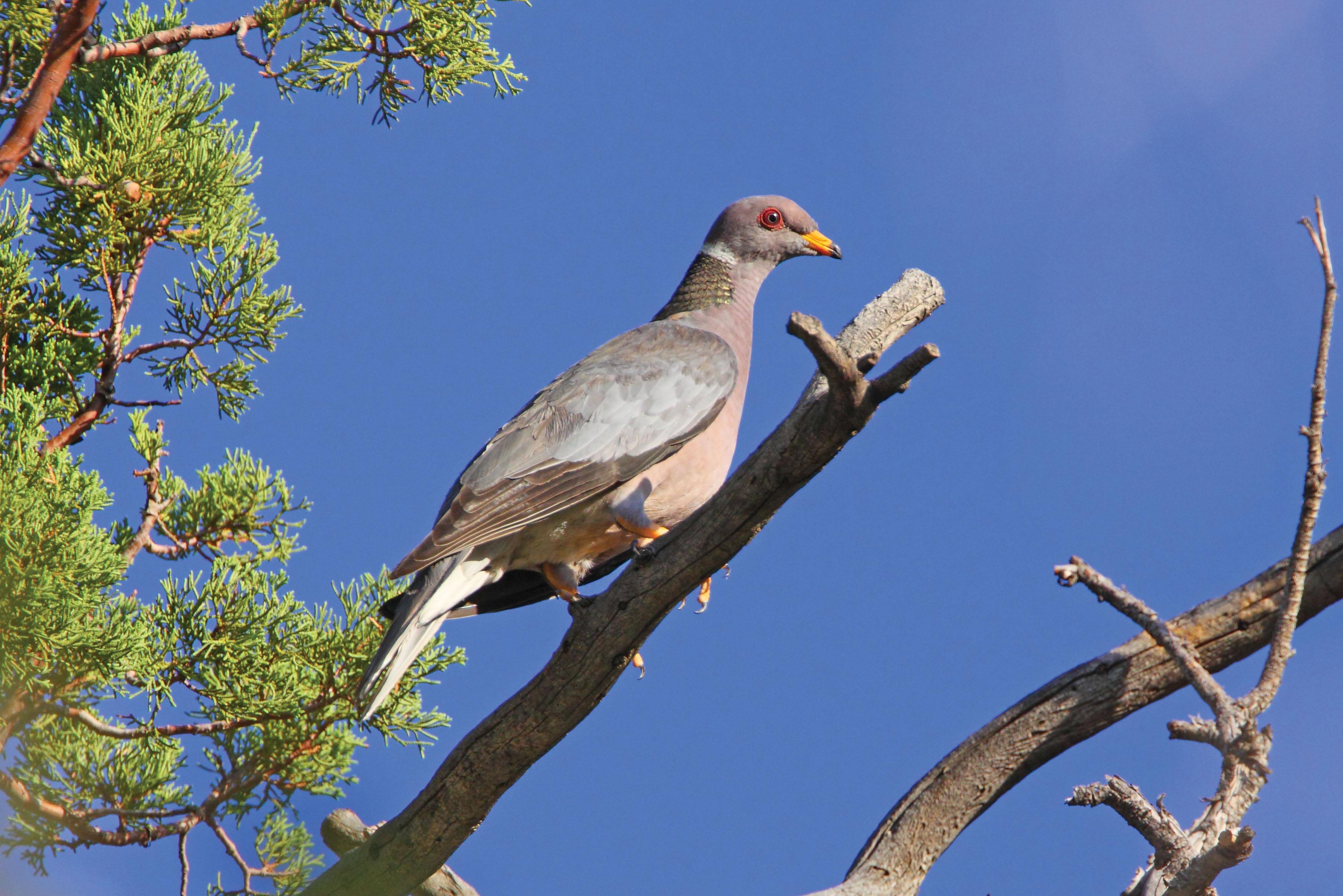 Band-tailed Pigeon.jpg