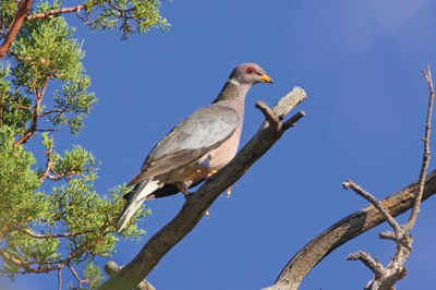 Band-tailed Pigeon.jpg