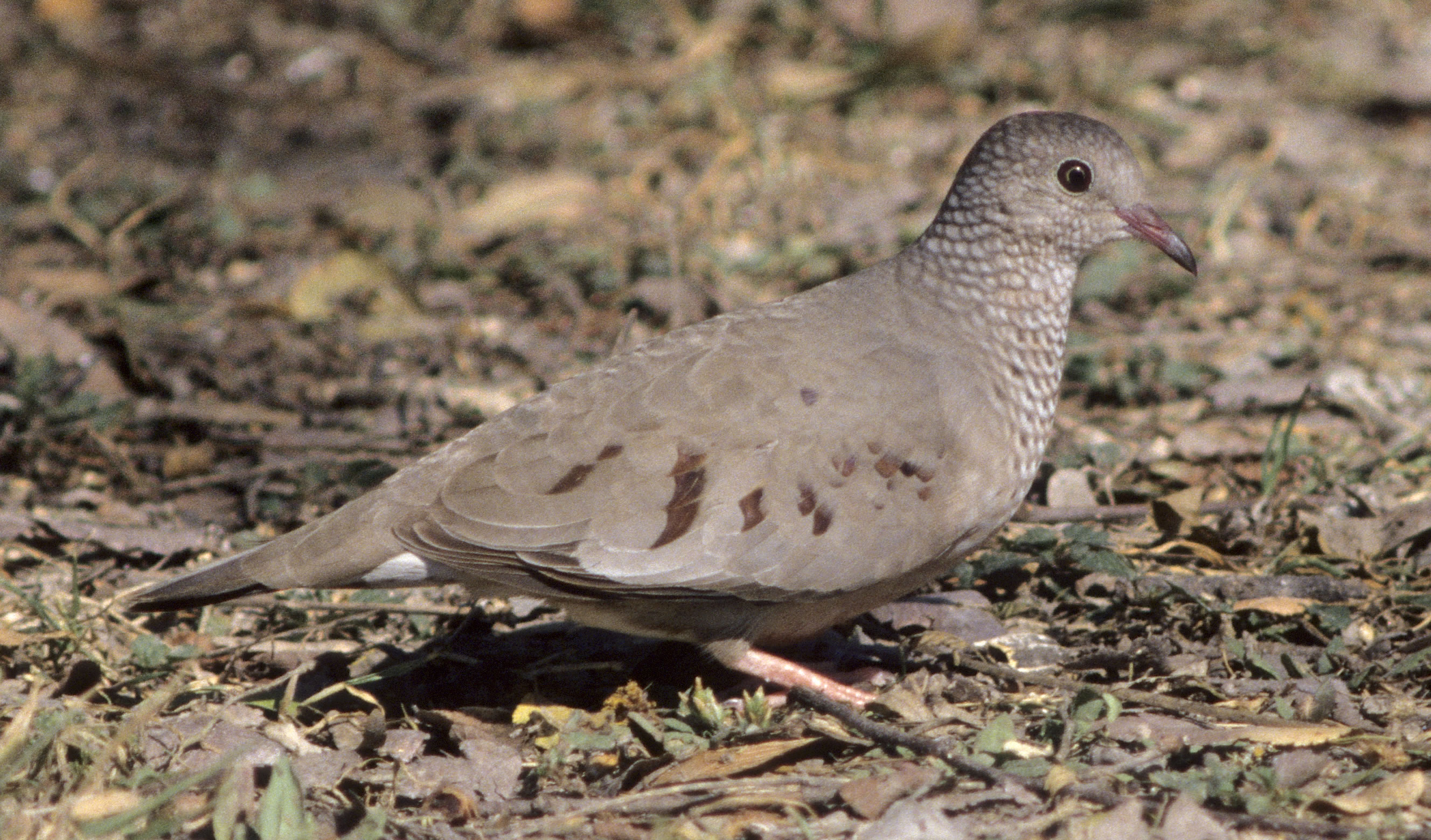 Subarban >> Know Your Doves — Texas Parks & Wildlife Department