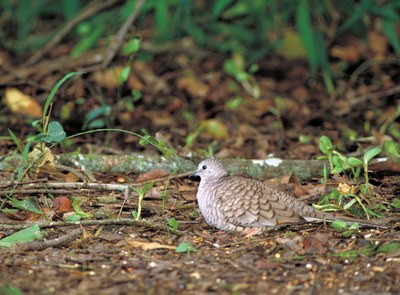common ground dove_usfws_thomas g barnes.jpg