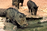 Javelinas drinking water