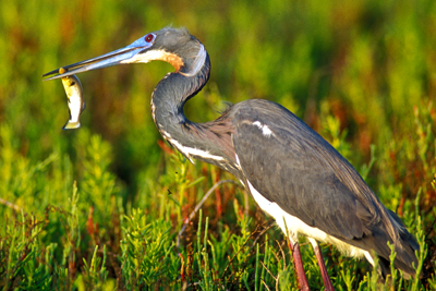 Tri-colored heron with fish