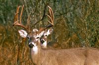 closer look at deer behind the buck