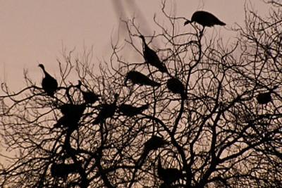 Turkeys roosting in a tree