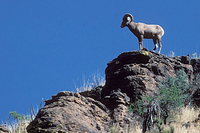 Big Horn sheep on hilltop