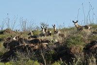 mule deer on hilltop
