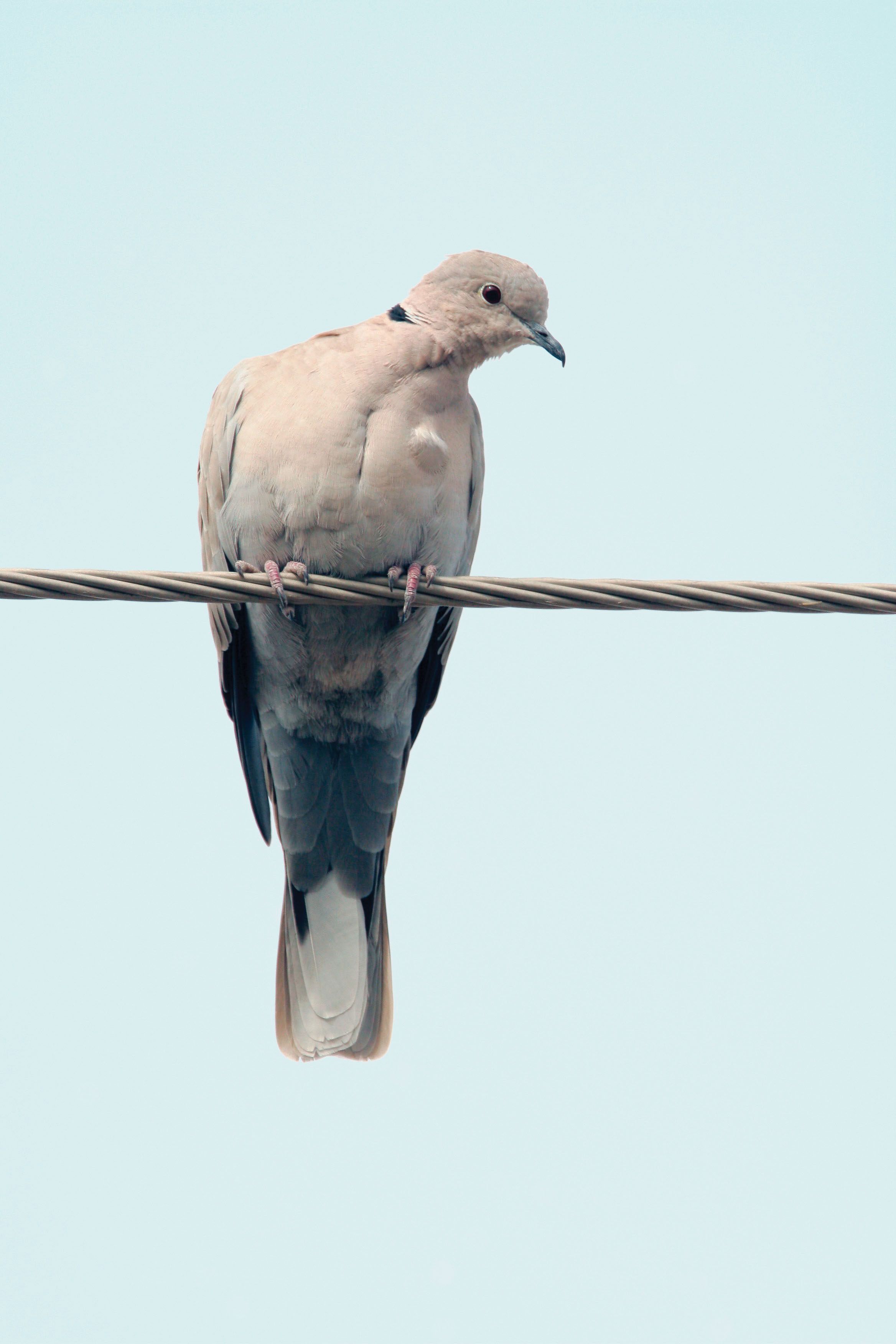 Eurasian Collared-Dove pic 2.jpg