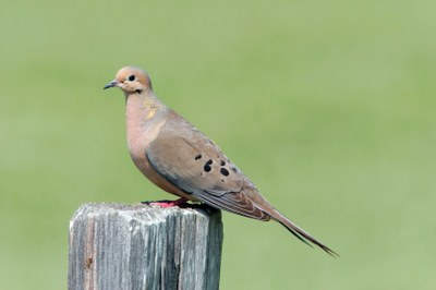 Mourning Dove AHY.jpg