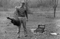 Biologist weighing wild turkey, 1950's