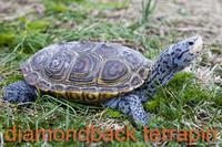 Diamonback Terrapin