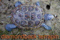 Diamonback Terrapin from above