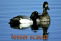 Lesser scaup