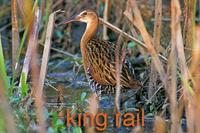 King Rail