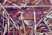 Clapper Rail