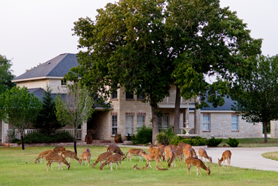 axis deer in front yard