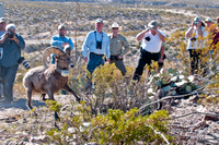 Releasing Desert Bighorn sheep