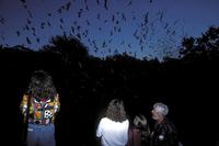 Watching a bat emergence