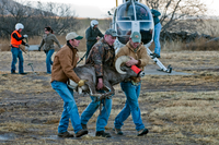 TPWD staff capture Bighorn sheep for release