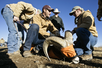 preparing bighorn sheep for helicopter ride