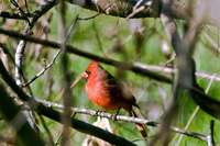 Male Northern Cardinal in tree
