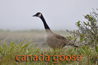 Canada Goose in grass
