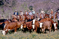 Cowboys driving a herd of cattle