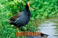 Gallinule