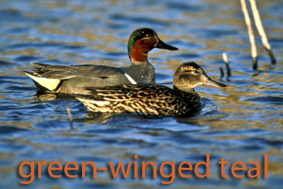 Game birds texas parks wildlife department texas waterfowl digest for details green winged teal sciox Choice Image
