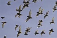 Bats in flight overhead