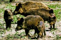 European Hog