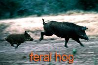 Feral hogs running