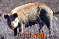 Feral hog sow