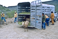Big Horn Sheep release