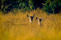 White-tailed deer doe and fawn in tall grass