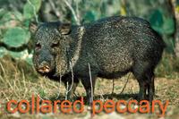 Collared peccary