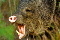 Javelina displaying tusks