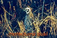 Montezuma's quail