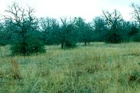oaks and grassland
