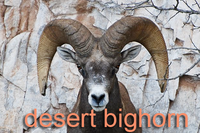 Desert bighorn sheep ram head-on