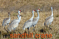 Sandhill Cranes in grass