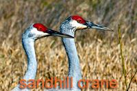 Sandhill Crane Heads