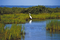 Egret in seagrass marsh