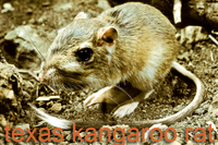 Texas Kangaroo Rat