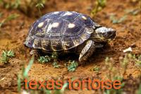 Texas Tortoise