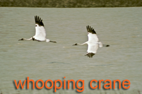 2 Whooping Cranes in flight